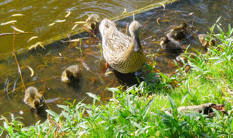 Wildlife-Ducks-2