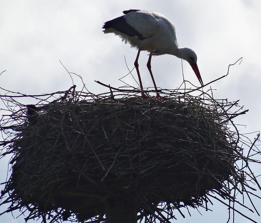 Wildlife-Stork-4